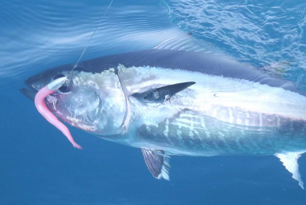 Bluefin Tuna – An amazing, fishy feat of nature