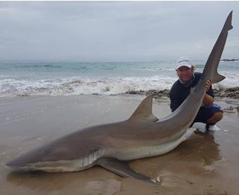 A shore caught Bronze Whaler Shark from South Africa.